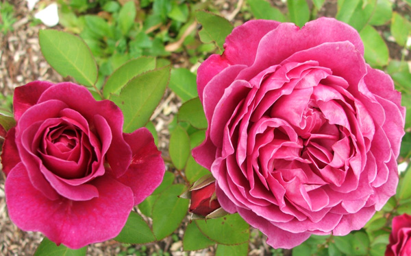 Unknown pinky-red roses.