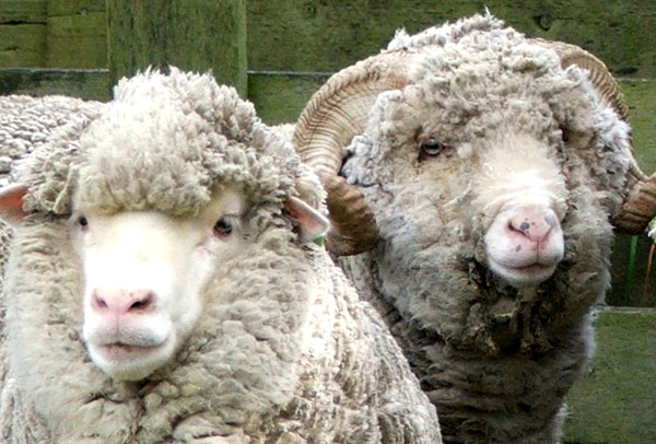 Looking after sheep... Hmm...