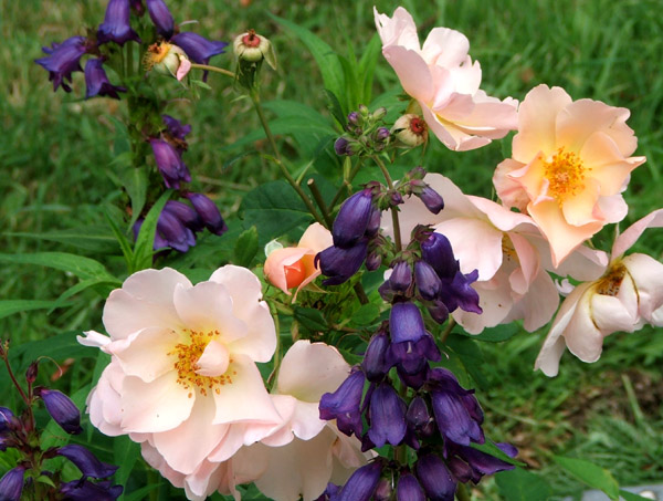 An unknown David Austin rose with Penstemons.