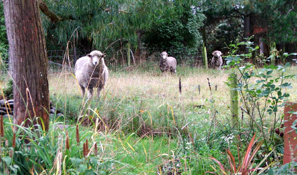 George, Fred and Charles the ram.