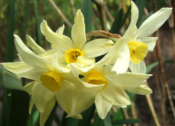 These starry daffodils are in the Wattle Woods.