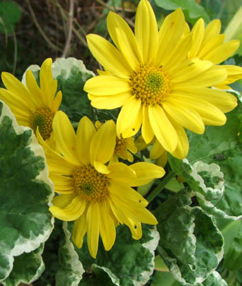 My favourite yellow chrysanthemums which grow by the glass-house.