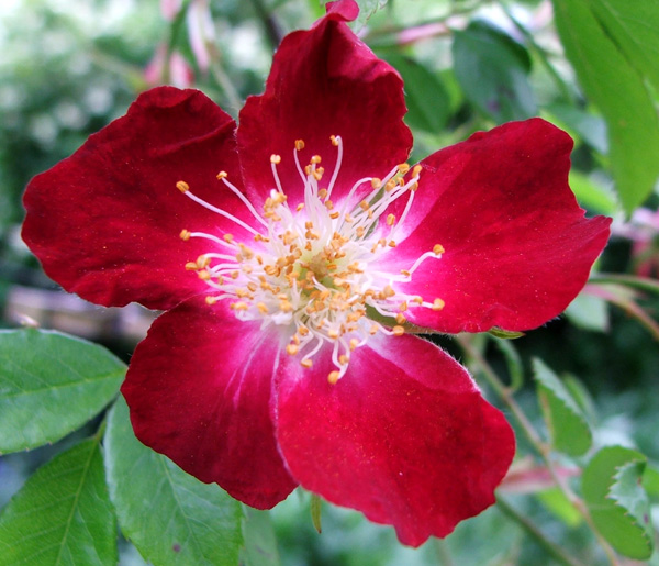 The most modest climbing rose in the whole of my garden.