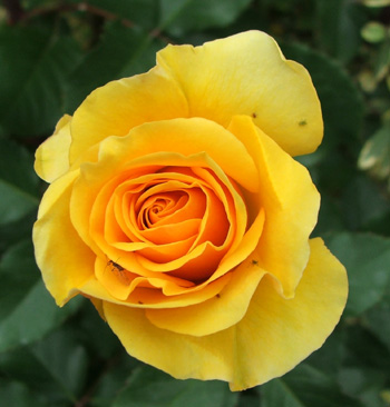 An incredibly golden rose!