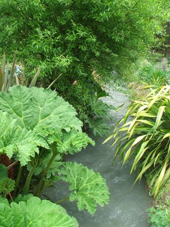 The Gunnera is growing huge already.
