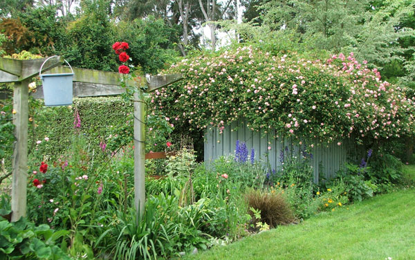The pergola and woodshed are alive with flowers.