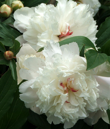 Could these possibly be Sarah Bernhardt? Must google for images to check.
