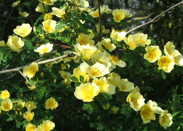 Such a lovely spring flowering rose.