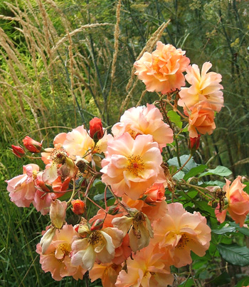 What a richly coloured rose Westerland is.