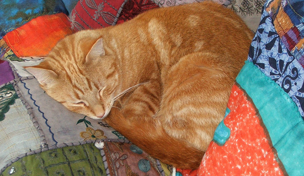 Percy the ginger cat curled up in his favourite cushions. 