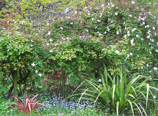 Phormiums, forget-me-nots, and clematis.