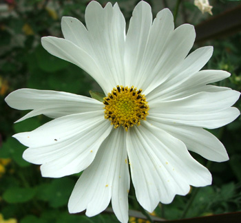Oh dear - this cosmos looks a little sad!