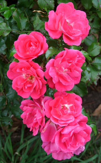 A bright pink Flower Carpet rose.