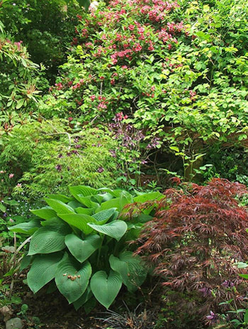 Red Maple, Weigela, and large hosta.