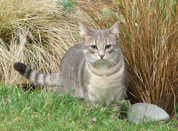 The grey woodshed kitten.