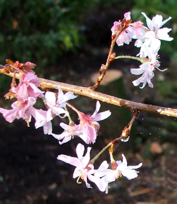 A detail of the early flowering plum tree.
