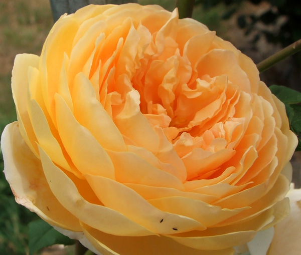 I think this is a David Austin rose... must check.