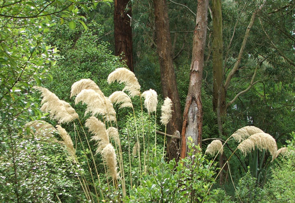 With their beautiful feathery seed-heads.