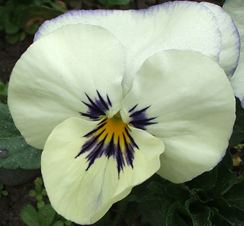 A self-sown pansy.