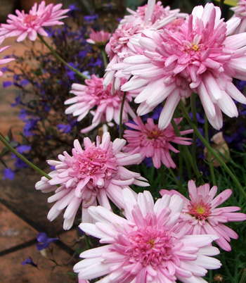 These pretty pink daisies are planted in my new pots.