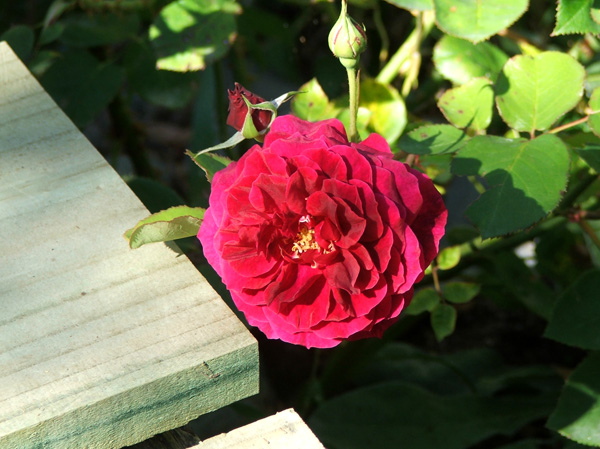 Suddenly this rose is flowering for the first time. Dead odd.