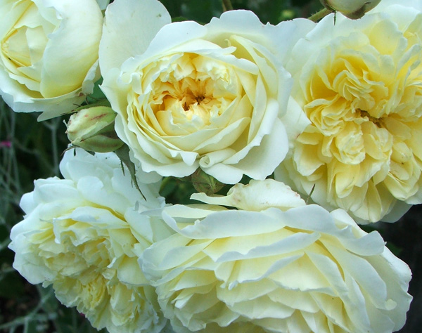 Flowering in-between most other David Austin roses.