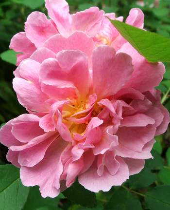 I wish I knew the name of this rose!
