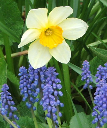 A late flowering daffodil with some Muscari.
