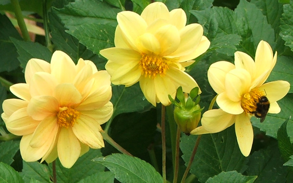 My bumble bees adore the dahlias.