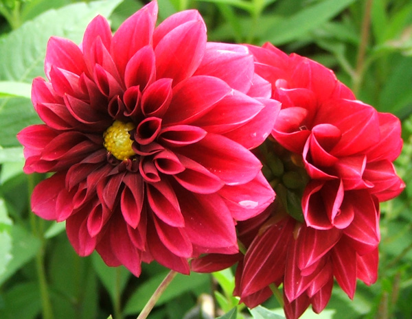 There are many red dahlias in the Moosey garden borders.