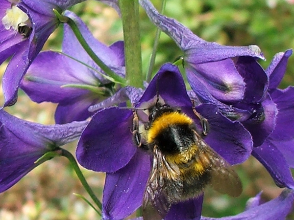 There are lots of little bumble bees around my garden at the moment.
