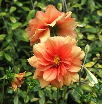 This dahlia flowers year after year - it's never been shifted.