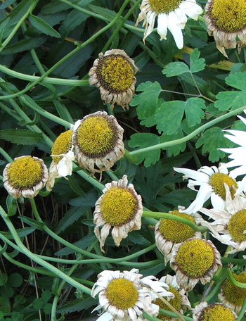 Aargh! Time to trim the Shasta daisies...