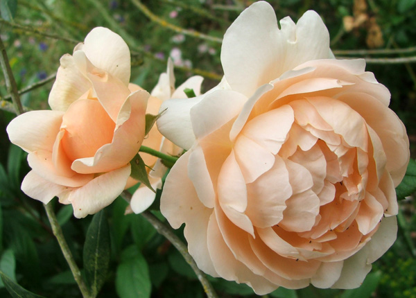 This rose flowers a bit later in the season. Friend Wendy thinks it could be Ambridge Rose...