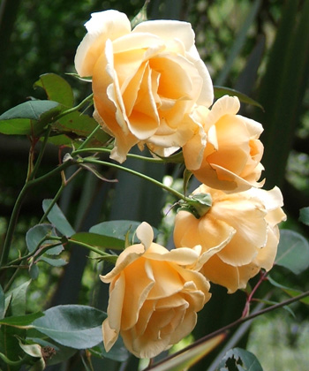 http://www.mooseyscountrygarden.com/garden-journal-10/hillingdon-lady-rose.jpg