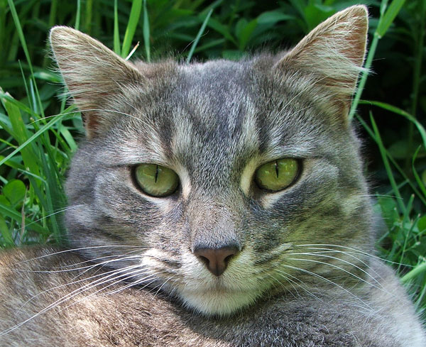 Striped tabby cat personality