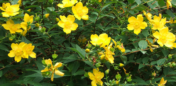 Yellow hypericum flowers mightylinksfo
