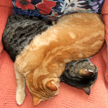 Ginger Percy and tabby Histeria on their sleeping chair.