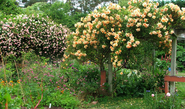Unknown pink rambler and apricot Crepuscule.