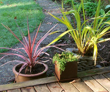 My new pink Cordyline, Thyme, and Yellow Wave Phormium.