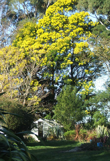 With the flowering Wattle trees behind it.