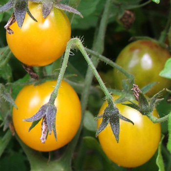 They are a cherry sized tomato, but the plant is tall.