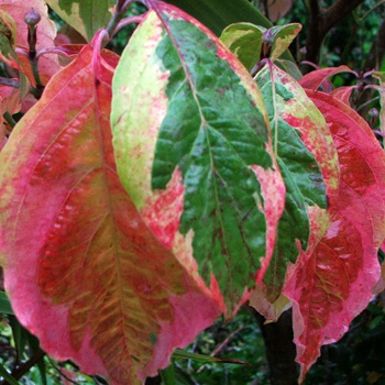 This Dogwood changes colour very laste in autumn.