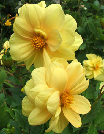 Another dahlia which grows neaer the house.
