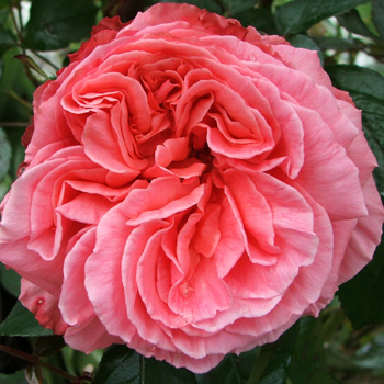 A large flowered Sam McGredy rose.