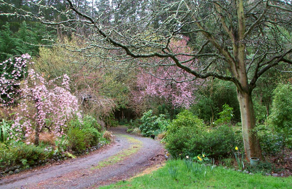 Cherry trees in the Driveway Garden.