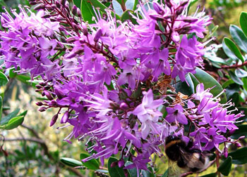 The bumble bees love the Hebe flowers.