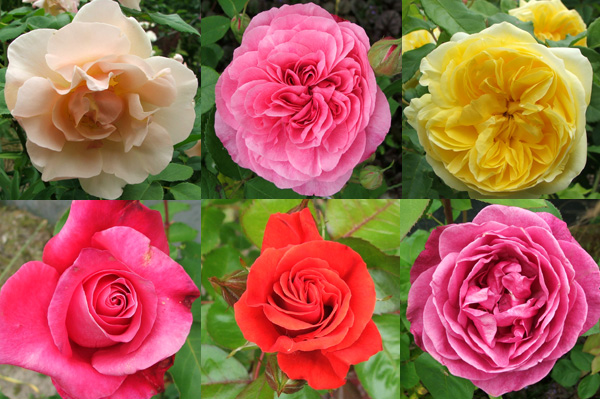 I think one of the pinks is Claire Rose.