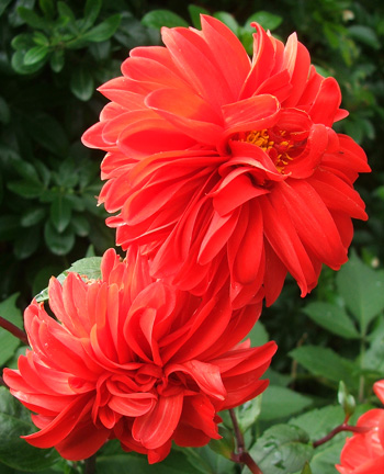 There are lots and lots of red dahlias flowering now.