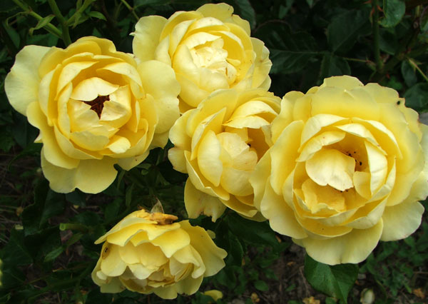 Bred by an English rose breeder.